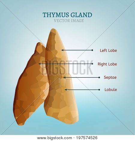 Thymus gland image. Vector illustration isolated on a light blue background.