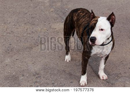 dog breed American Staffordshire Terrier on a gray background