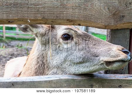 Deer looking into the gap of the fence
