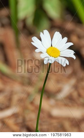 A photo of a single white and yellow daisy growing in a garden