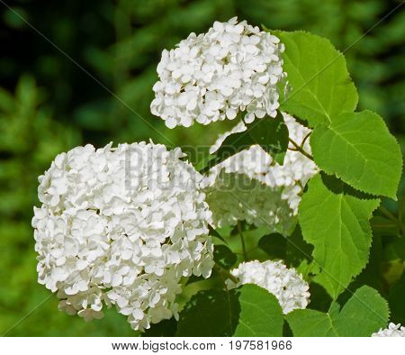A photo of white Annabelle Hydrangeas in the sunlight