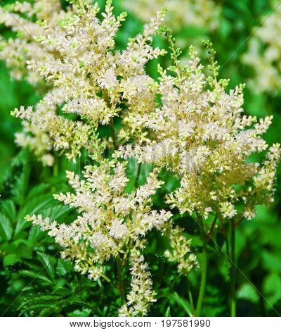 A photo of a delicate white astilbe plant showing off its wispy flowers
