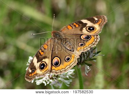 Close-up of a common buckeye butterfly on a white wildflower on a green background.