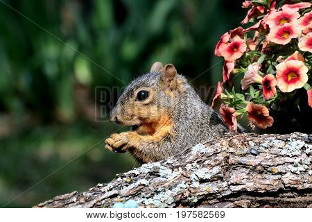 A cute little fox squirrel pokes his head up from behind a tree limb and pink petunias.