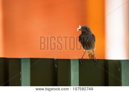 Female black redstart or Phoenicurus ochruros feeds their nestlings with its prey