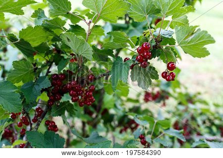Red Currant Clusters Grow In The Bush In The Green Garden