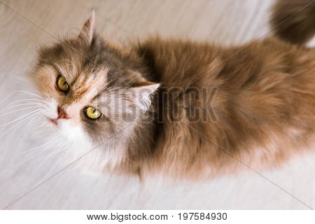 Long-haired cat with ashy-ginger fur looks up. Beautiful family pet with fluffy fur and yellow eyes wants to eat