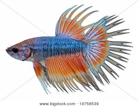 Siamese Fighting Fish. Betta Splendens