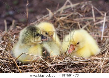 Three little domestic gosling in straw nest.