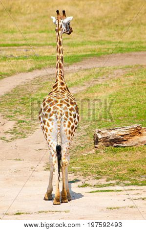 Back view of a giraffe in savanna, Africa.