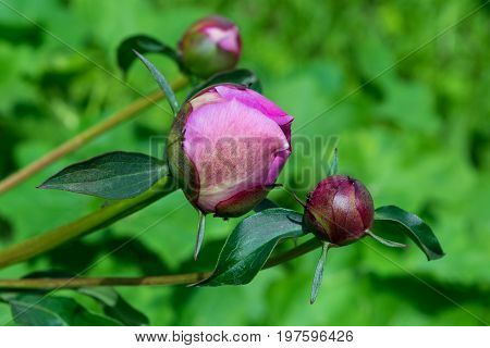 Three young unopened Bud of pink roses on a green background. Beautiful flowers on stems with leaves. Pink rose petals in the closed Bud. The background is blurred.