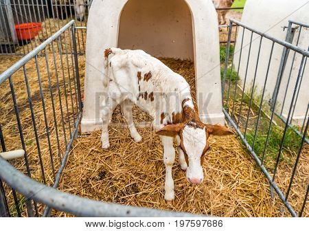 Young red and white spotted purebred dairy calf is still unsteady on its feet in the straw of the hutch.