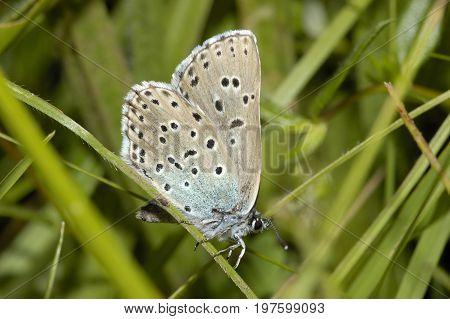 Large Blue Butterfly - Maculinea arion Male Underside