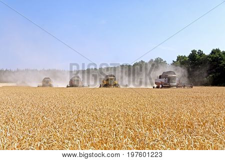 Combines harvests wheat on a field in sunny summer day