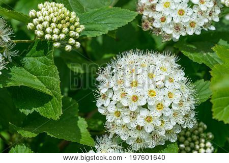 A few bunches of white flowers full-blown and unblown. Beautiful white flowers with pistils and stamens and yellow center on a background of green leaves.