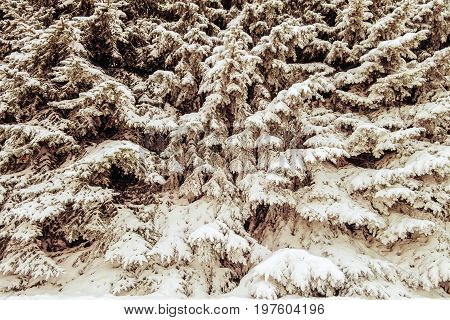 Snow cover on thick fir grove. Winter background.