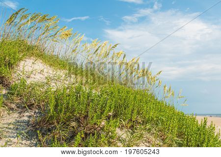 Tall beach grass in a sand dune on Coquina Beach at Cape Hatteras National Seashore.
