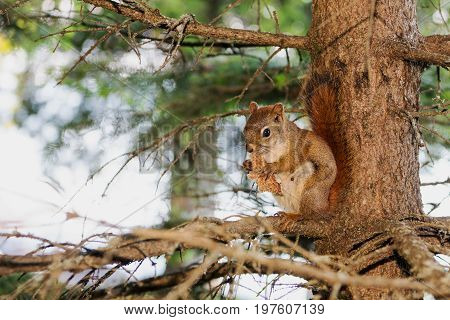 A squirrel in a tree devours a piece of bread in Casscade River State Park Minnesota USA