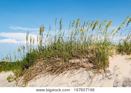 Sand dunes with beach grass on Coquina Beach at Cape Hatteras National Seashore.