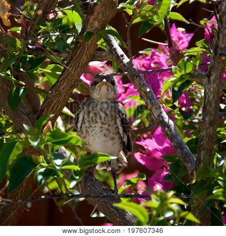 A baby Northern Mockingbird chick is perched on a bougainvillea branch looking directly at viewer early afternoon in Bonita Springs Florida
