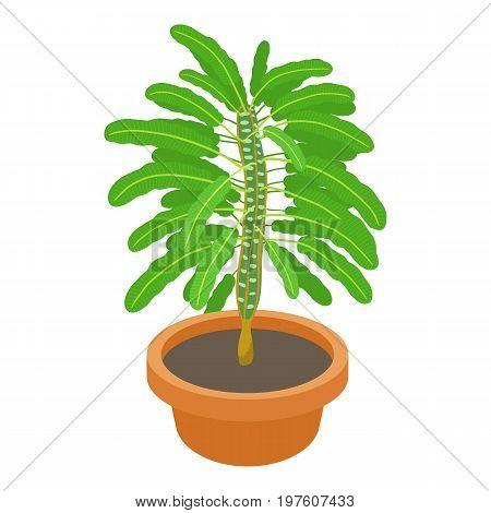 Euphorbia plant icon. cartoon illustration of euphorbia plant vector icon for web