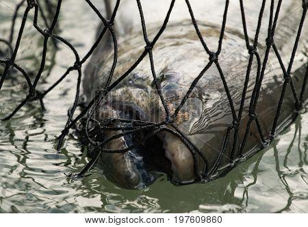 Close up of Alaskan Kenai River King Salmon in fishing net