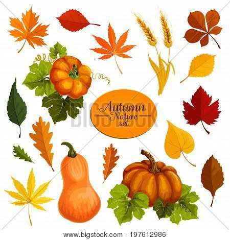 Autumn icons for September Thanksgiving day design. Vector pumpkin vegetable and wheat autumn harvest with falling leaves of elm, oak or maple and birch tree leaf