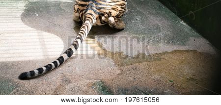 female bengal tiger Pee on the floor