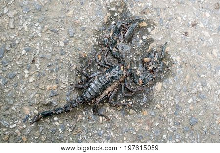 Asian giant forest scorpion was hit by a car on the road