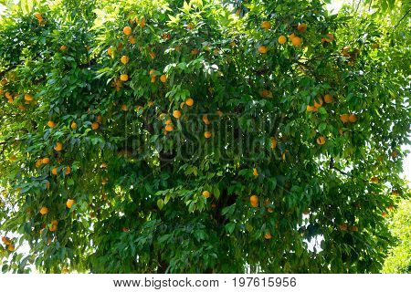 A Tree Full Of Oranges In Alcazar Garden In Cordoba, Spain, Europe