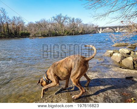 Boxer dog splashes and plays in the stream poster