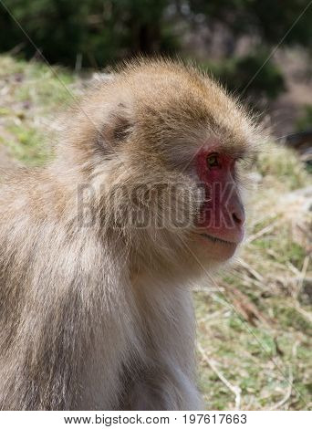 Close up of a snow monkey or Japanese macaque in profile seated in grassy field. Monkey appears contemplative.