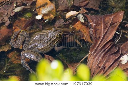 Close up of a Japanese Brown Frog floating in a pond with brown leaves. Photographed from above.