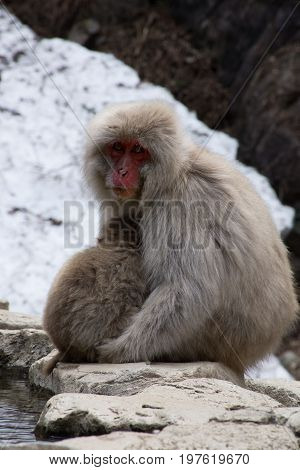 Close up of a mother snow monkey or Japanese macaque cuddling her baby at the edge of the hot spring.