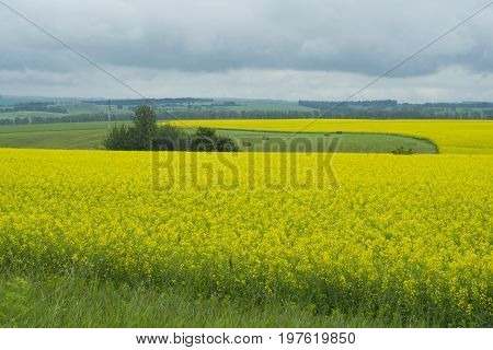 Rapeseed. Yellow flowers cultivated on the hills and hay