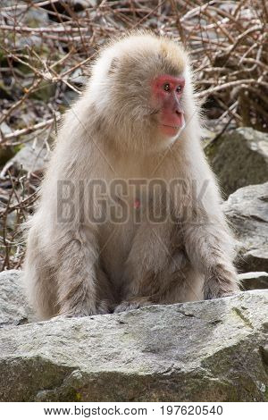 Female snow monkey sitting on boulder looking to her left. Shallow depth of field.