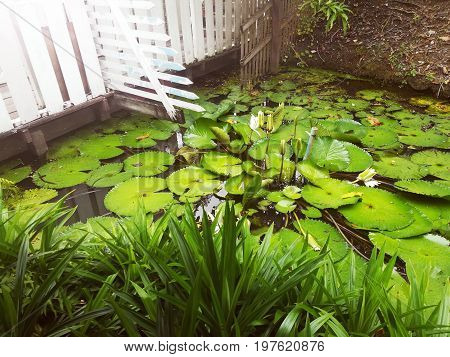 Waterlily leaf in the pond. Water plant in garden