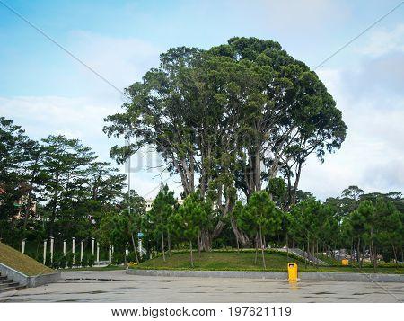 Trees At Lam Vien Park In Dalat, Vietnam