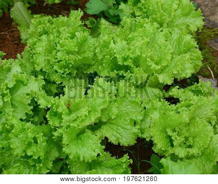 Lettuce Plants In Field