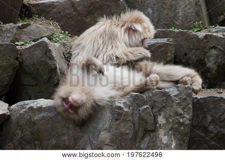 Two adult snow monkeys with one lounging on the rocks while looking upside down at the camera and the other grooming.