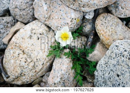 Alone white poppy grown up in stones
