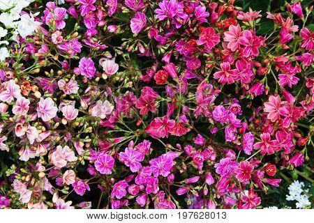 Closeup Of Vibrant Lewisia Blossoms.