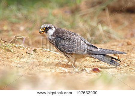 Amur Falcon Falco Amurensis Birds Of Thailand