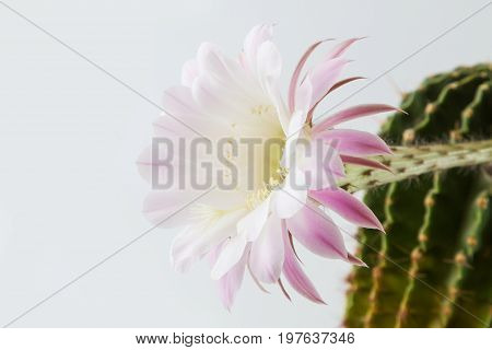 Close-up of a beautiful silky pink tender Echinopsis Lobivia cactus flower and green thorny spiky plant on white background