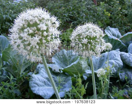 Pictures of onion plants prepared to give seeds, aged and matured onions give seeds, farmers should buy seeds from onion plants,