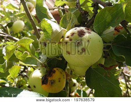 Diseased apple pictures, green apple diseases, apple pictures starting to get sick and rot in the branch,