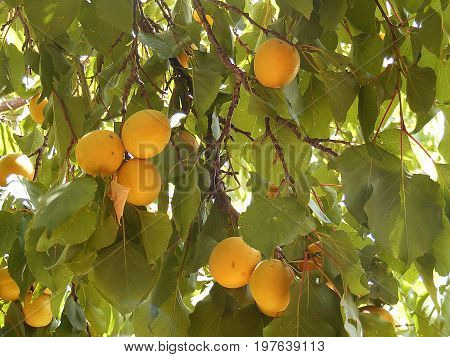 Matured apricots on the tree are waiting to be collected and sold
