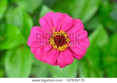 Common Zinnia (zinnia Violacea Syn. Zinnia Elegans) In Rural Garden, Close View