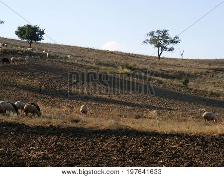 Pictures of sheep grazing, grazing hundreds of sheep, grazing goat pictures, sacrificial sheep and goat pictures,