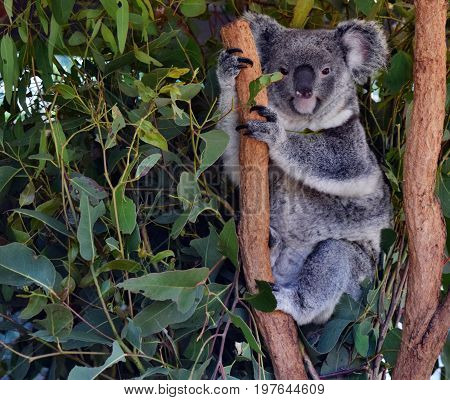 Koala On A Tree Branch Eucalyptus